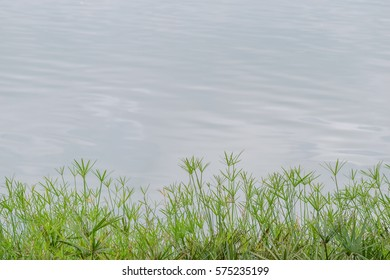 Egyptian papyrus at water pond background , water plants