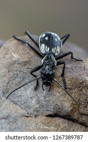 Egyptian predator beetle - Anthia sexmaculata