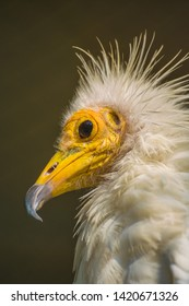 The Egyptian vulture, also called the white scavenger vulture or pharaoh's chicken, is a small Old World vulture and the only member of the genus Neophron.