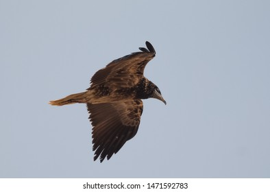 Egyptian Vulture in flight at Jorbeer Vulture Sanctuary