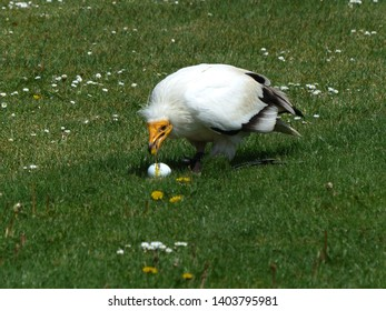 The Egyptian vulture (Neophron percnopterus), also called the white scavenger vulture or pharaoh's chicken, is a small Old World vulture and the only member of the genus Neophron. Accipitridae family.