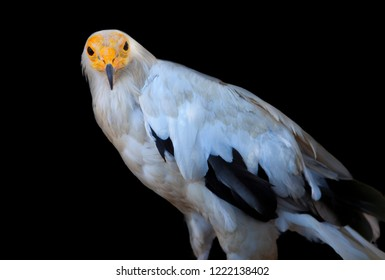 Egyptian vulture or Neophron percnopterus.  Isolated over black background. Sierra de Fuentes, Caceres, Spain