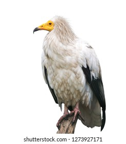 The Egyptian vulture (Neophron percnopterus) is a small Old World vulture. Photo was taken in Kiev Zoo, Ukraine.