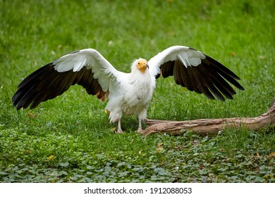 Egyptian vulture, Neophron percnopterus, white scavenger vulture with outstretched wings, standing on green meadow. Direct view, endangered bird of prey. Southern Europe.