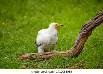 Egyptian vulture, Neophron percnopterus, white scavenger vulture with yellow beak, standing on green meadow. Direct view, endangered bird of prey. Southern Europe.