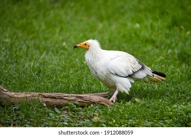 Egyptian vulture, Neophron percnopterus, white scavenger vulture with yellow beak, standing on green meadow. Side view, endangered bird of prey. Southern Europe.