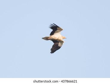 Egyptian Vulture overhead