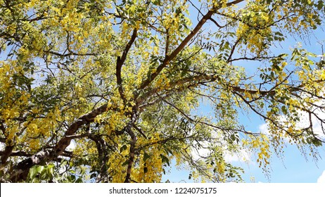 """Ehala"" Flower in Sri Lanka with sky background. Purging Cassia ( Cassis fistula Linn ) national flower of Thailand"