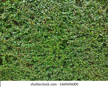 Ehretia microphyllais ashrubgrowing to 4m height, with long, straggling, slender branches. It also known as theFukien tea treeorPhilippine tea tree. Green leaves natural wall background.