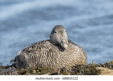 Eider duck, female, sitting on a seaweed covered rock, close up