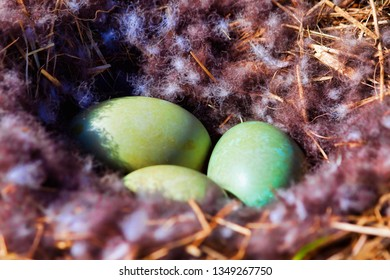 Eider duck nest with eggs