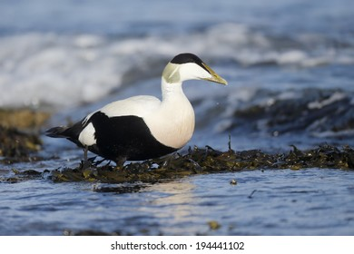 Eider duck, Somateria mollissima, single male on rock by water, Northumberland, May 2014