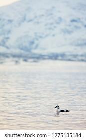 Eider in fjord