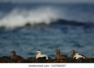 Eiders in Varanger