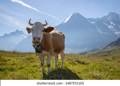 The Eiger mountain and brown Alpine cow with cowbell in alpine meadow, Swiss Alps, Switzerland