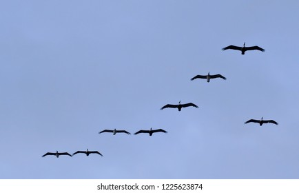 Eight brown pelicans seen flying in a blue sky