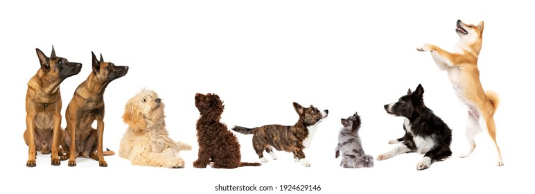 Eight dogs looking up in front of a white background