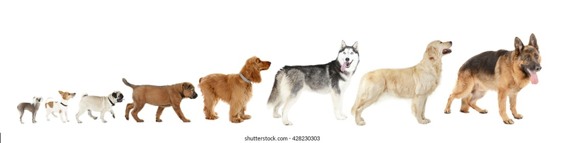 Eight dogs in row, from small to large, isolated on white