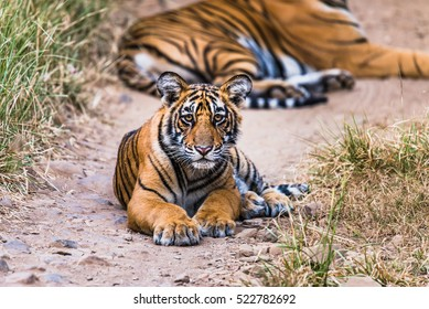 Eight month cub of Royal Bengal Tiger sitting and watching. Tigress noor isolated in background