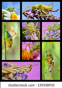 Eight mosaic photos of grasshoppers