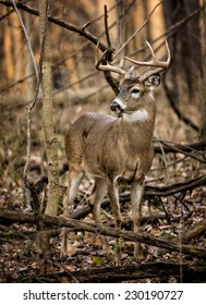 An eight point white tailed deer buck in the forest of Ohio.