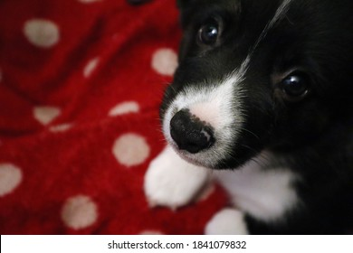 Eight week old corgi puppy