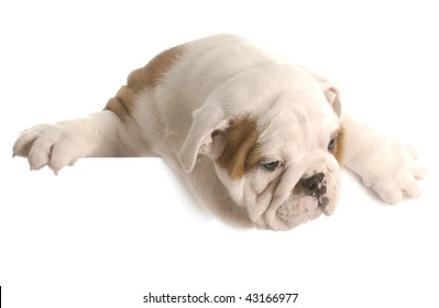 eight week old english bulldog puppy hanging over white foreground