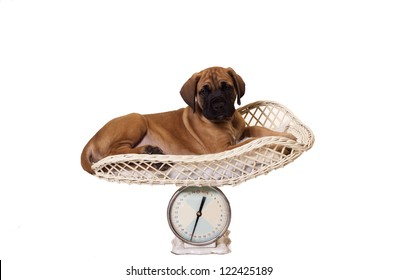 Eight week old English Mastiff puppy lying on a weight scale. Isolated white background with copy space.