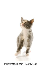 eight week old female kitten standing up with reflection on white background