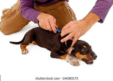 An eight week old puppy being microchipped by a rescue group member