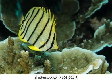 Eight-banded Butterflyfish (Chaetodon octofasciatus) on a coral reef