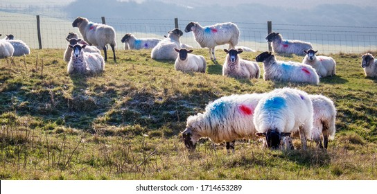 Eighteen sheep standing in a line looking at the camera in a green field with a flock of sheep grazing in the background, Sussex, England, UK, United Kingdom, Britian