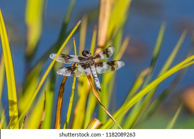 Eight-spotted skimmer dragonfly (Libellula forensis) photographed in late summer perched on vegetation by a pond at Magnuson Park, Seattle.