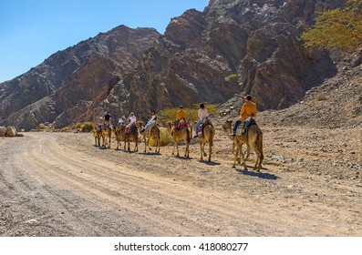 EILAT, ISRAEL - FEBRUARY 24, 2016: The Masiv Eilat Nature Reserve is the best place to get the camel riding experience, on February 24 in Eilat.