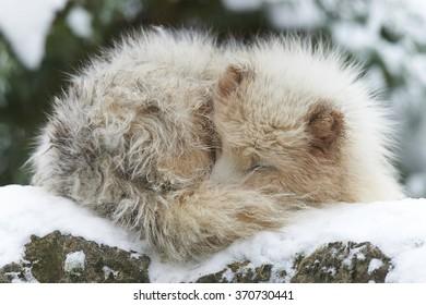 Ein schlafender Polarfuchs im Schnee