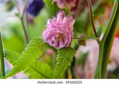Blüte einer Akeleien