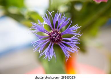 Blüte einer Kornblume