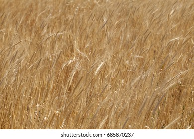 Einkorn (Triticum boeoticum) wheat field in Provence, France. Einkorn wheat is one of the earliest cultivated forms of wheat.