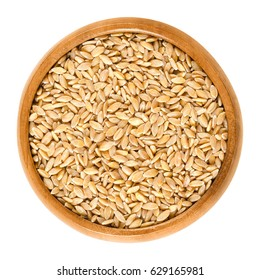 Einkorn wheat in wooden bowl, also called littlespelt. Dried grains. Triticum monococcum. One of the first domesticated and cultivated plants. Isolated macro food photo close up from above over white.