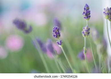 Einzelne Lavendelblüte im Fokus vor dem Hintergrund Bokeh Hintergrund