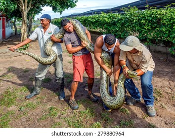 EL CEDRAL, VENEZUELA - JULY 09 : A group of staff kennel show tourists six meters anaconda. Flora of the country is famous for its great diversity of species on July 09, 2012 in Los Llanos, Venezuela