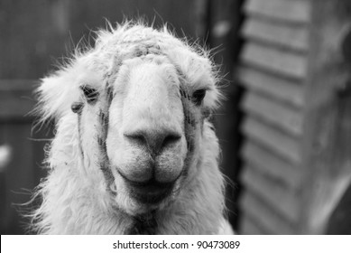 El Chaten Argentina, the llama (Lama glama) is a South American camelid, widely used as a meat and pack animal by Andean cultures since pre-Hispanic times.
