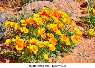 El Paso, Texas - 5 March 2019:  Golden poppies, one of the first signs of Spring.Eschscholzia californica