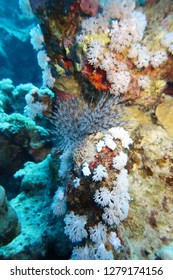 El Quseir: A beautiful feather duster worm spreading its feathery branches out of its tube