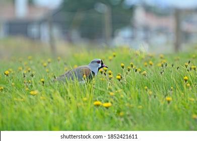el tero-tero (Vanellus chilensis), pájaro guardián por naturaleza