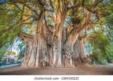 El Tule, the biggest tree of the world located in Oaxaca, Mexico