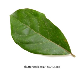 Elaeagnus latifolia leaf isolated on white background
