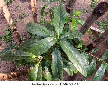 Elaeocarpus ganitrus, Rudraksh, seeds used in Prayer beads, evergreen tree with narrowly elliptical leaves, ripe drupe fruit after drying yields stony seeds.