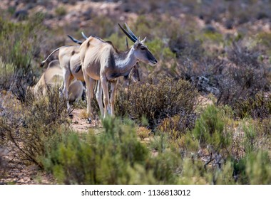 elan antilope with big horns in Aaquila game reserve