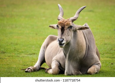 Elan bull sitting on the ground while eating